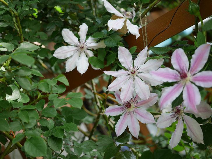 ネリモーザ(パテンス系 旧枝咲き)の花がまた増えてきた。2021年-003.jpg