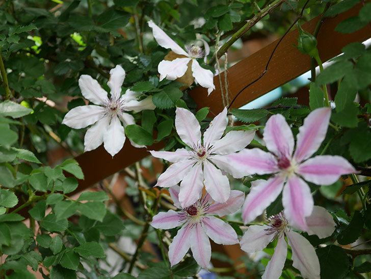ネリモーザ(パテンス系 旧枝咲き)の花がまた増えてきた。2021年-004.jpg