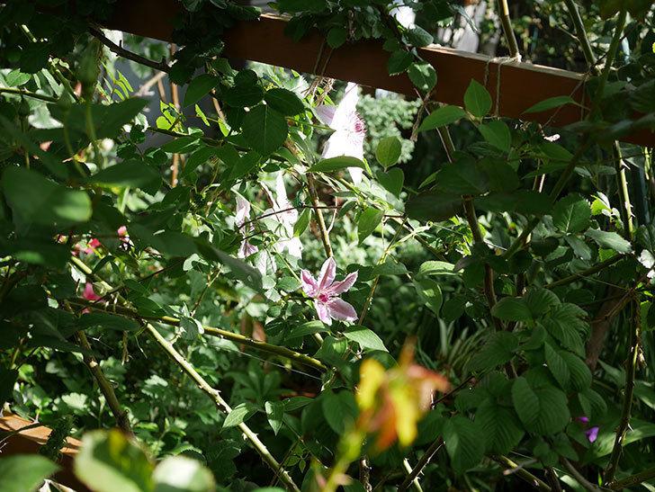 ネリモーザ(パテンス系 旧枝咲き)の花がまた増えてきた。2021年-005.jpg