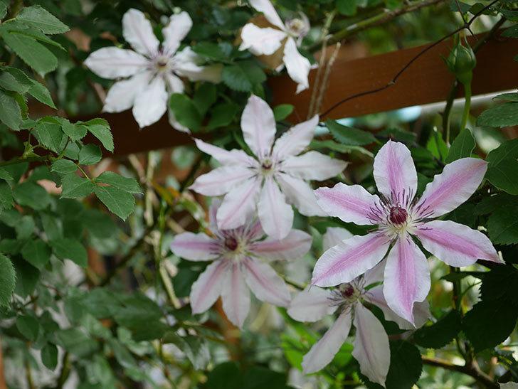 ネリモーザ(パテンス系 旧枝咲き)の花がまた増えてきた。2021年-008.jpg