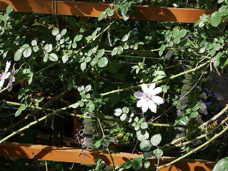 ネリモーザ(パテンス系 旧枝咲き)の花がまた増えてきた。2021年-010.jpg