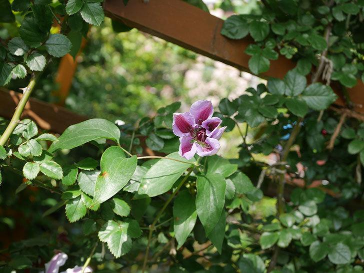 ネリモーザ(パテンス系 旧枝咲き)の花がまた増えてきた。2021年-011.jpg