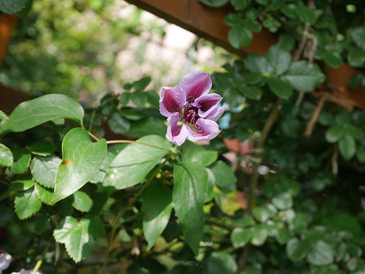 ネリモーザ(パテンス系 旧枝咲き)の花がまた増えてきた。2021年-012.jpg
