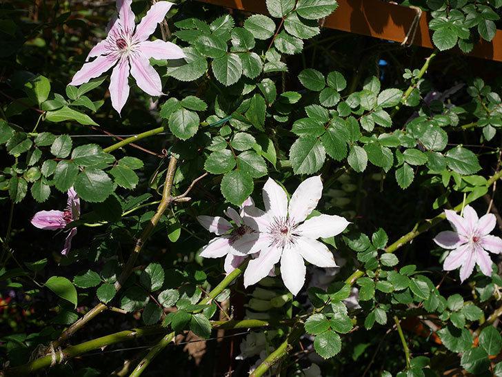 ネリモーザ(パテンス系 旧枝咲き)の花がまた増えてきた。2021年-014.jpg