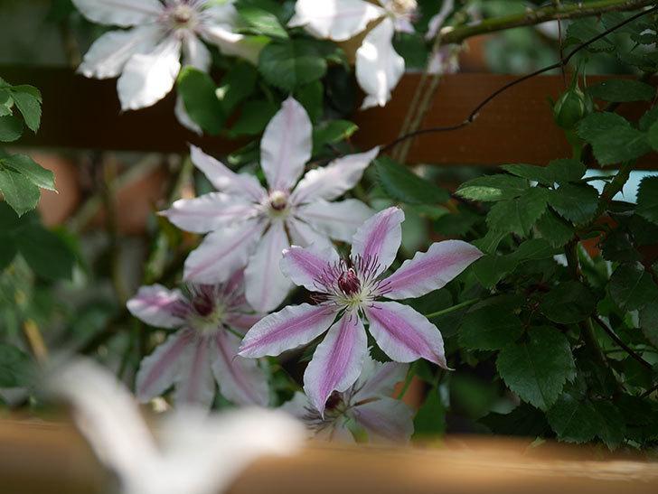 ネリモーザ(パテンス系 旧枝咲き)の花がまた増えてきた。2021年-021.jpg