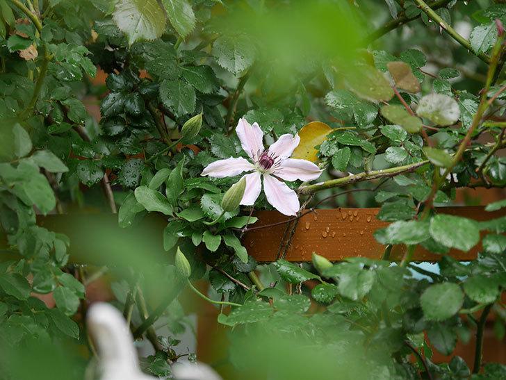 ネリモーザ(パテンス系 旧枝咲き)の花が咲いた。2021年-001.jpg