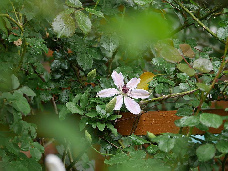 ネリモーザ(パテンス系 旧枝咲き)の花が咲いた。2021年-002.jpg