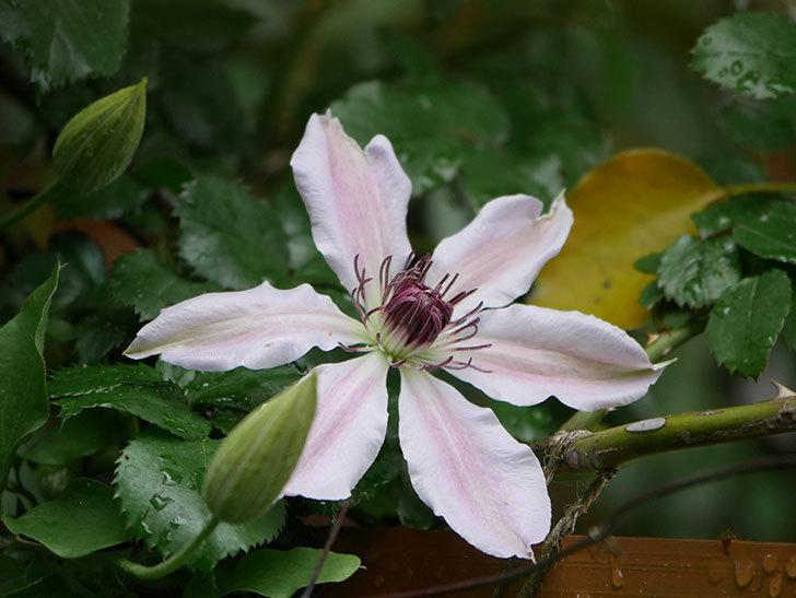 ネリモーザ(パテンス系 旧枝咲き)の花が咲いた。2021年-003.jpg