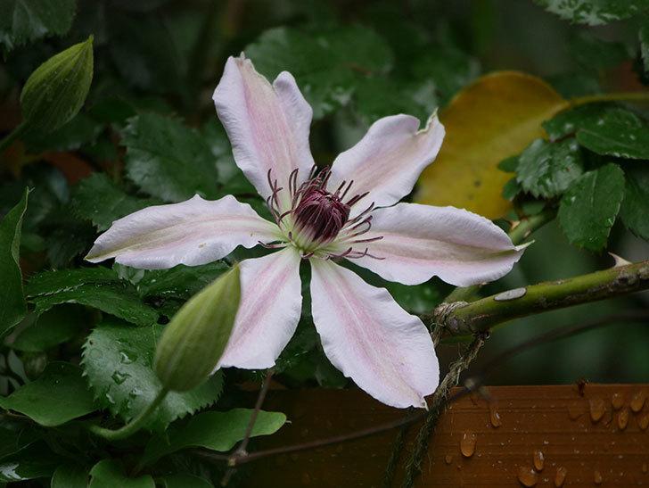 ネリモーザ(パテンス系 旧枝咲き)の花が咲いた。2021年-004.jpg