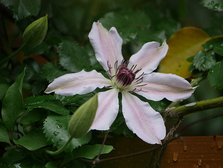 ネリモーザ(パテンス系 旧枝咲き)の花が咲いた。2021年-005.jpg