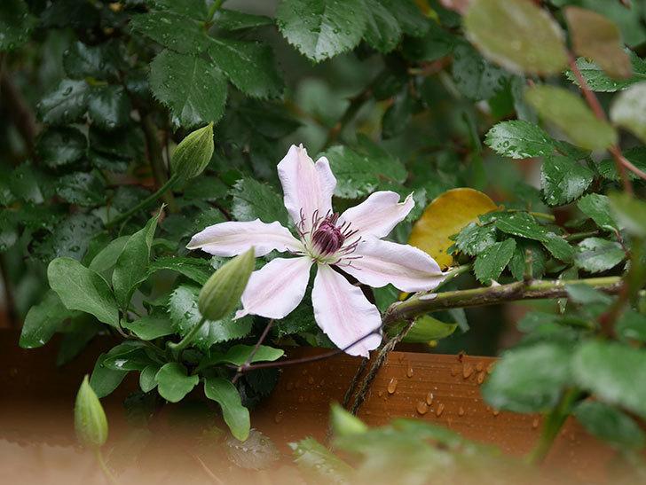 ネリモーザ(パテンス系 旧枝咲き)の花が咲いた。2021年-006.jpg