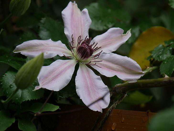 ネリモーザ(パテンス系 旧枝咲き)の花が咲いた。2021年-008.jpg