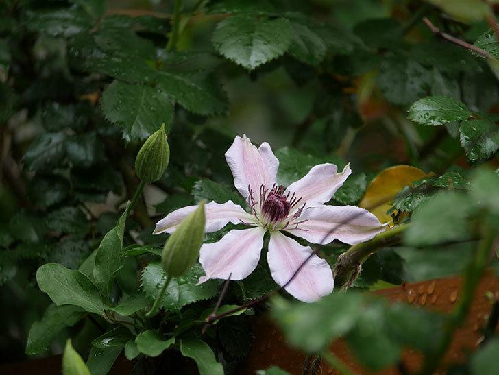 ネリモーザ(パテンス系 旧枝咲き)の花が咲いた。2021年-010.jpg
