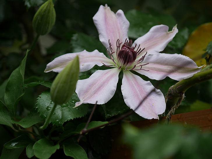 ネリモーザ(パテンス系 旧枝咲き)の花が咲いた。2021年-012.jpg