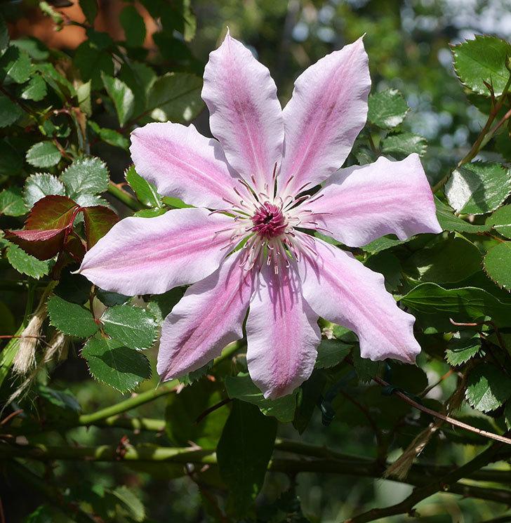 ネリモーザ(パテンス系 旧枝咲き)の花が咲きだした。2020年-1.jpg