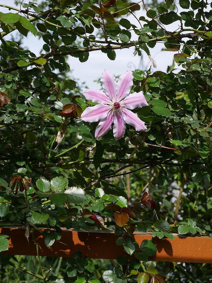 ネリモーザ(パテンス系 旧枝咲き)の花が咲きだした。2020年-5.jpg