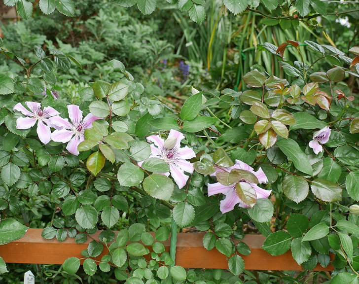 ネリモーザ(パテンス系 旧枝咲き)の花が増えてきた。2018年-1.jpg
