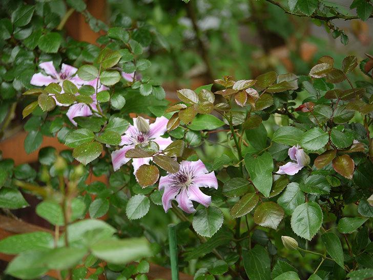 ネリモーザ(パテンス系 旧枝咲き)の花が増えてきた。2018年-10.jpg