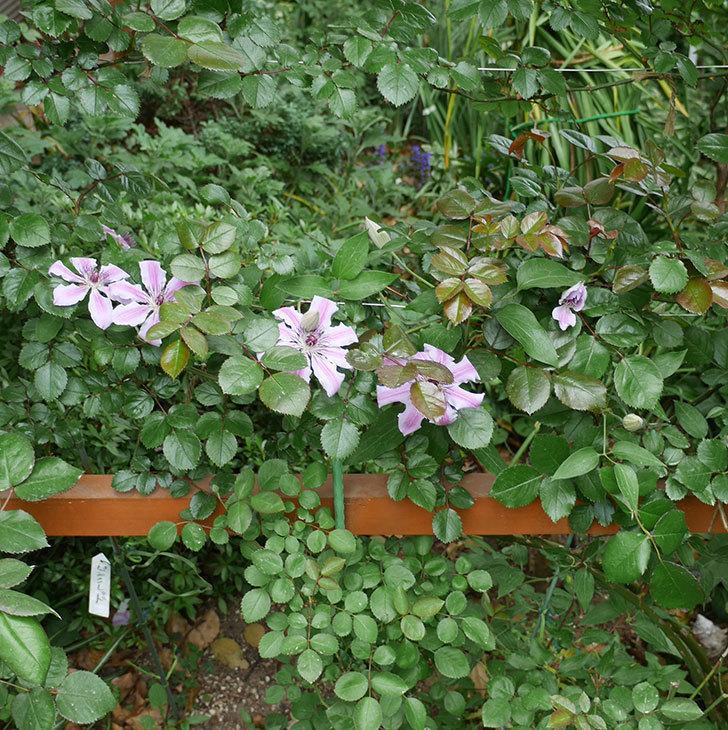ネリモーザ(パテンス系 旧枝咲き)の花が増えてきた。2018年-5.jpg