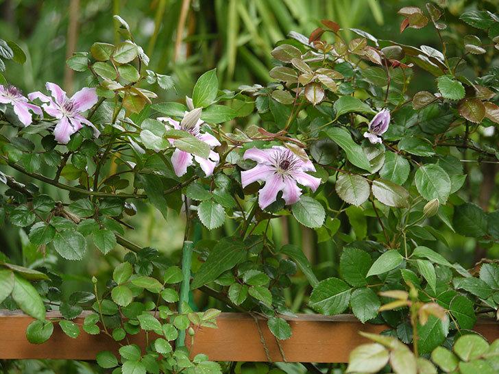 ネリモーザ(パテンス系 旧枝咲き)の花が増えてきた。2018年-8.jpg