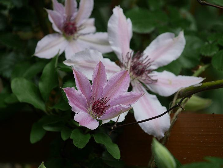 ネリモーザ(パテンス系 旧枝咲き)の花が増えてきた。2021年-007.jpg