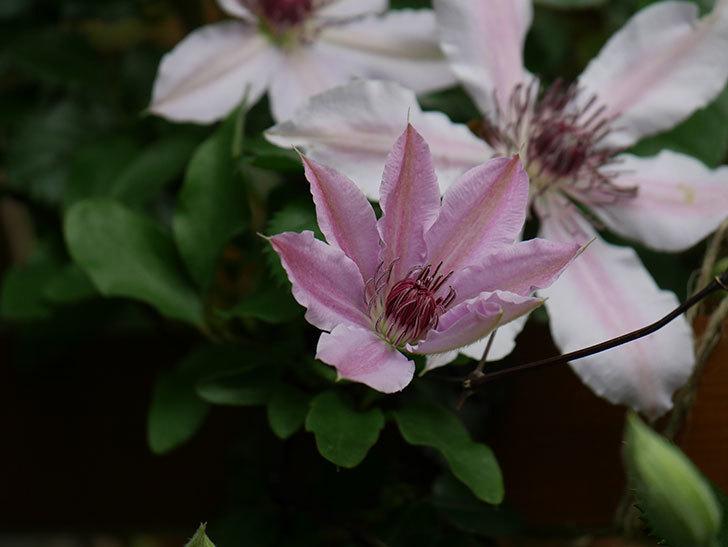 ネリモーザ(パテンス系 旧枝咲き)の花が増えてきた。2021年-008.jpg