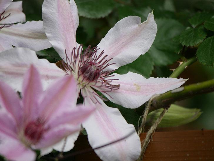 ネリモーザ(パテンス系 旧枝咲き)の花が増えてきた。2021年-010.jpg