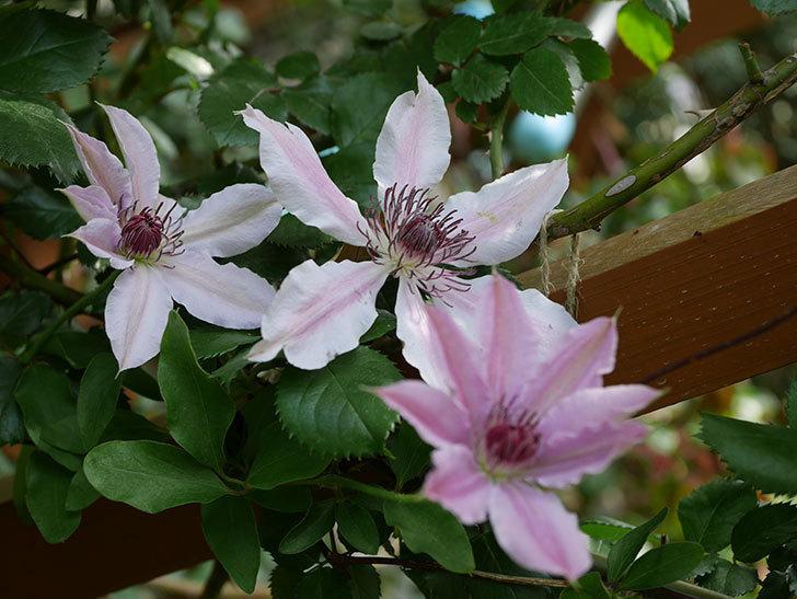 ネリモーザ(パテンス系 旧枝咲き)の花が増えてきた。2021年-019.jpg