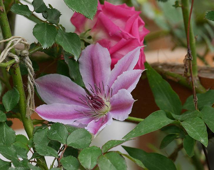 ネリモーザ(パテンス系 旧枝咲き)の花が増えて来た。2020年-1.jpg