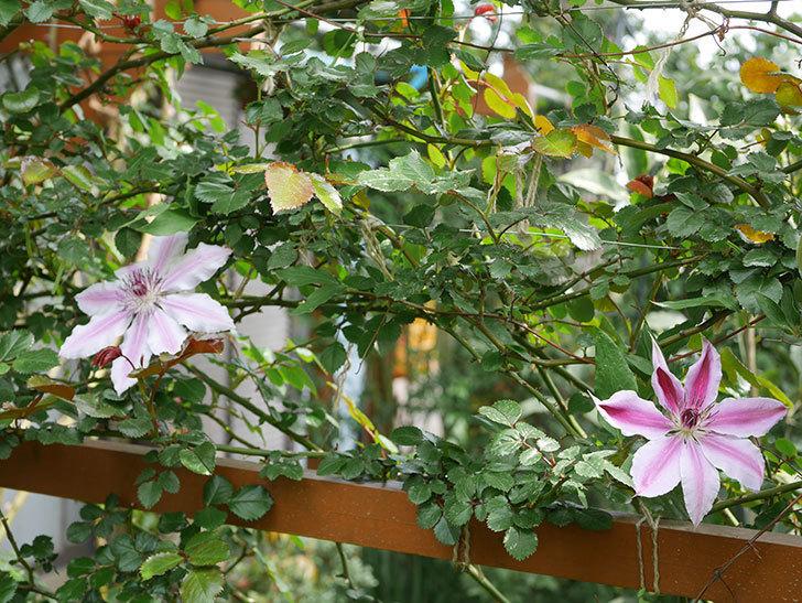 ネリモーザ(パテンス系 旧枝咲き)の花が増えて来た。2020年-10.jpg