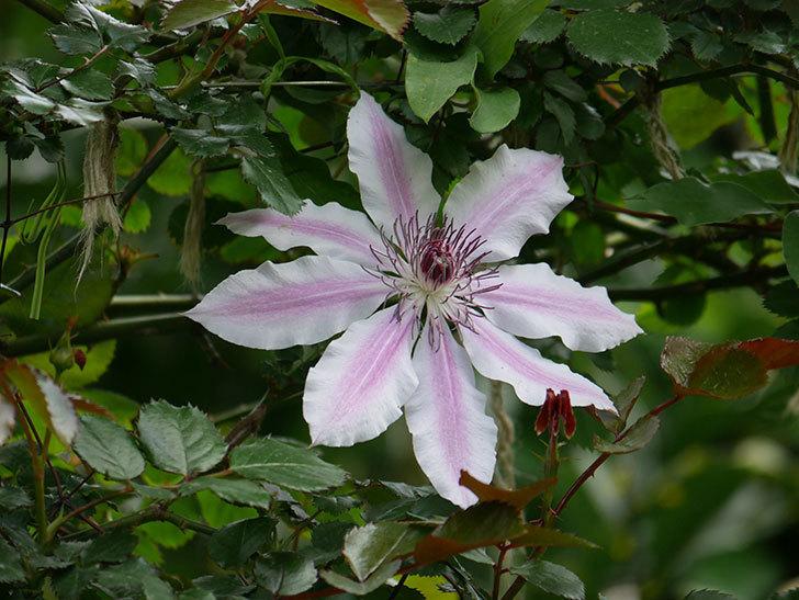 ネリモーザ(パテンス系 旧枝咲き)の花が増えて来た。2020年-3.jpg