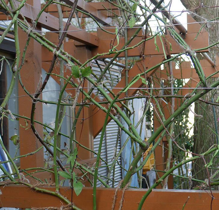 ネリモーザ(パテンス系 旧枝咲き)の誘引をした。2019年-1.jpg