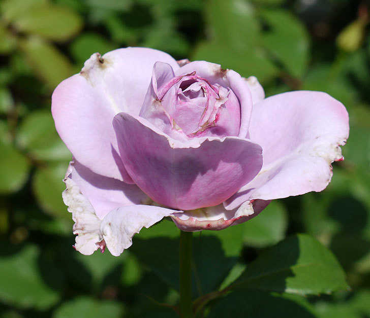 ノヴァーリス(木立バラ)がまた咲いた。2017年-1.jpg