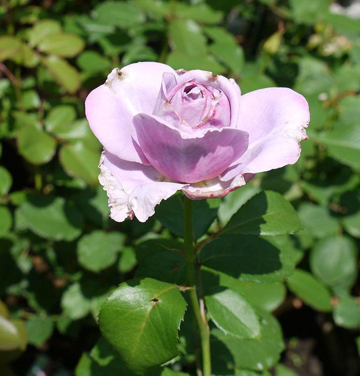ノヴァーリス(木立バラ)がまた咲いた。2017年-2.jpg