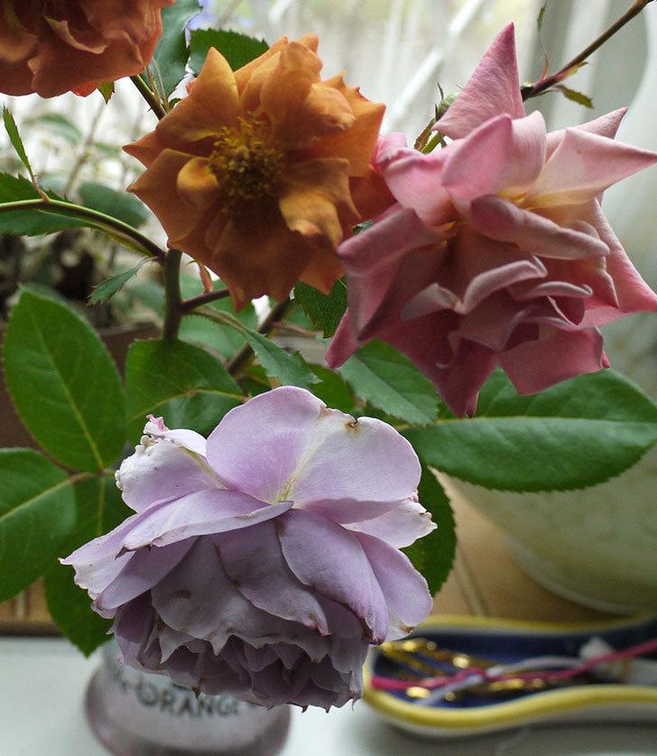 ノヴァーリス(木立バラ)がまた咲いた。2017年-3.jpg