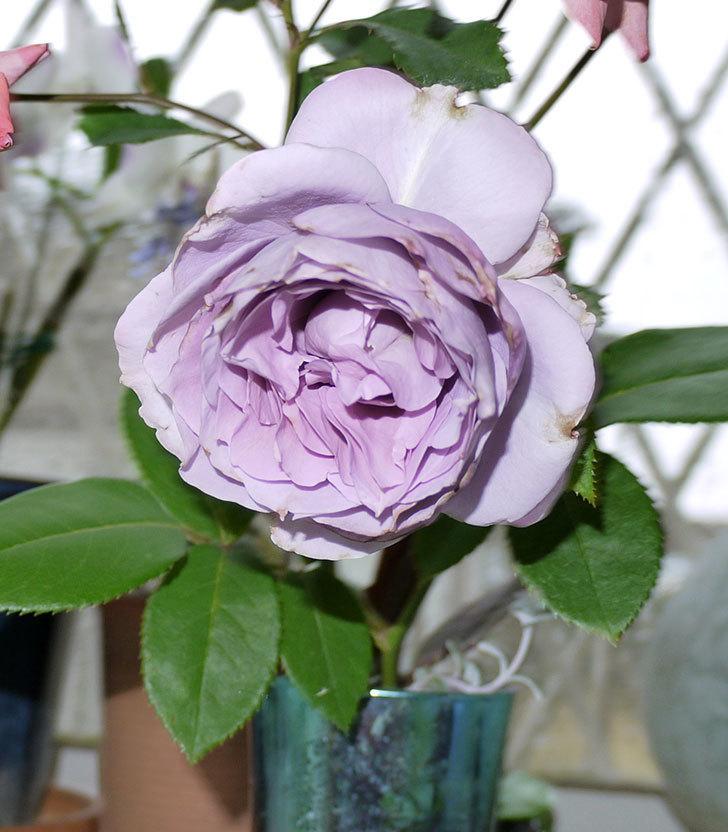 ノヴァーリス(木立バラ)がまた咲いた。2017年-4.jpg