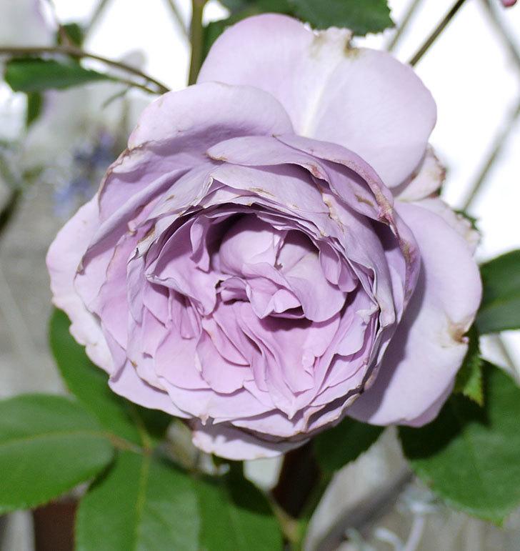 ノヴァーリス(木立バラ)がまた咲いた。2017年-5.jpg