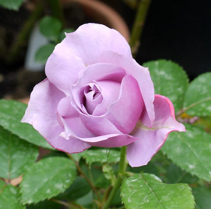 ノヴァーリス(木立バラ)が咲いた。2017年-2.jpg