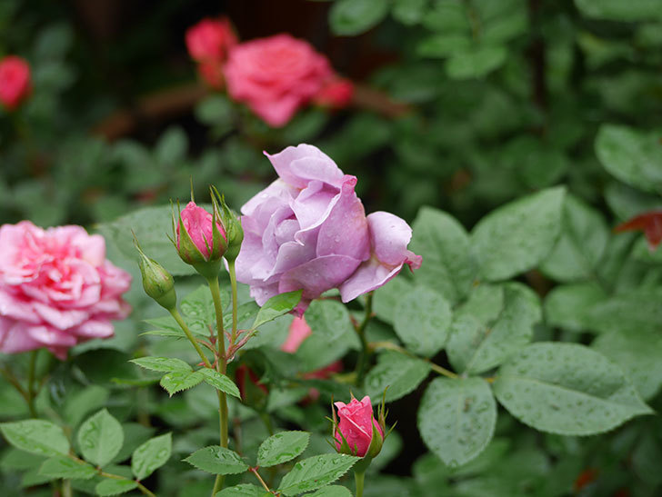 ノヴァーリス(木立バラ)が咲いた。2018年-4.jpg