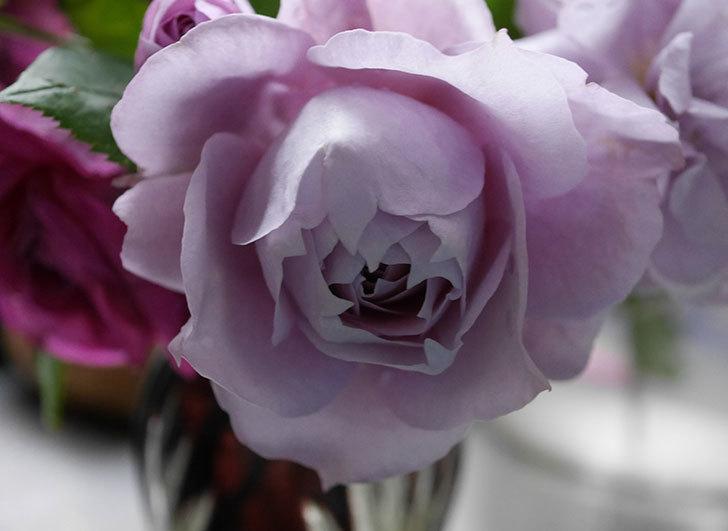 ノヴァーリス(木立バラ)が咲いた。2018年-6.jpg