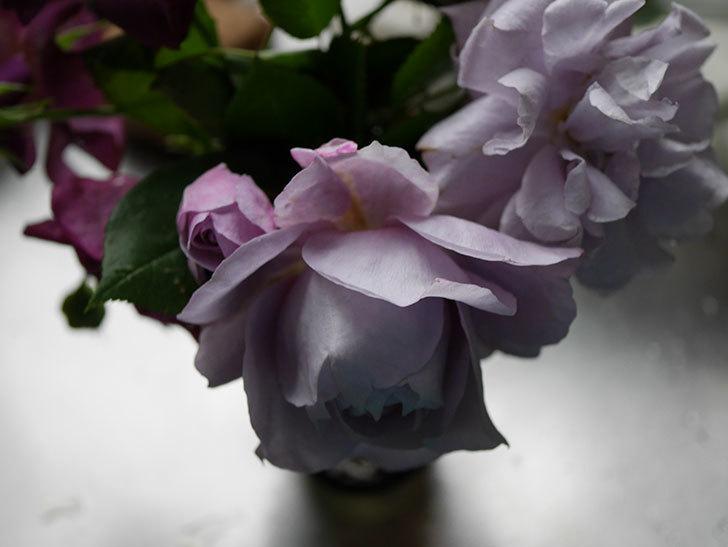 ノヴァーリス(木立バラ)が咲いた。2018年-7.jpg