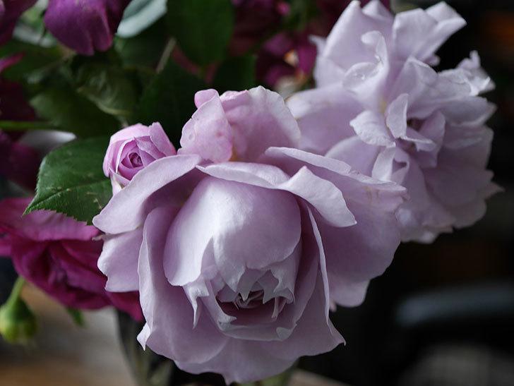 ノヴァーリス(木立バラ)が咲いた。2018年-8.jpg