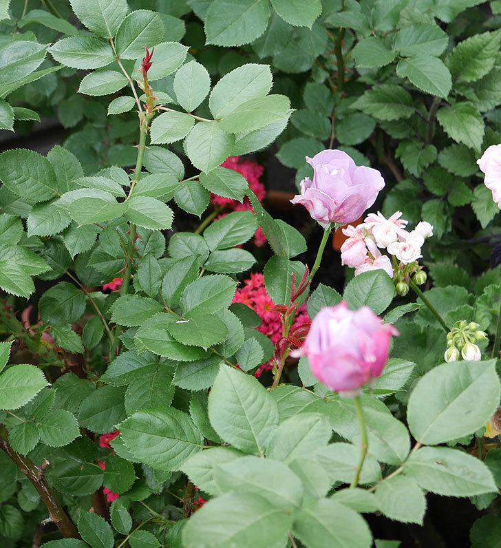 ノヴァーリス(木立バラ)が少し咲いた。2018年-4.jpg