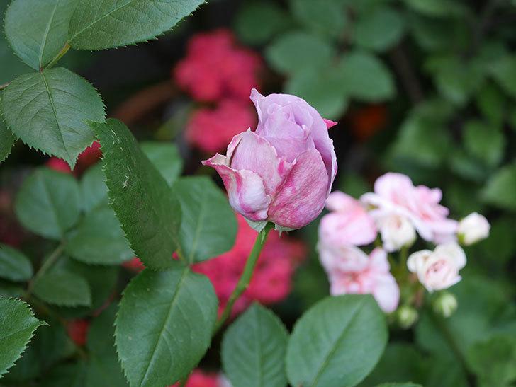 ノヴァーリス(木立バラ)が少し咲いた。2018年-7.jpg