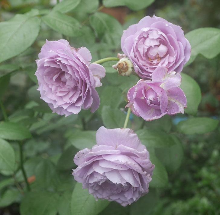 ノヴァーリス(木立バラ)の2番花がたくさん咲いた。2018年-1.jpg