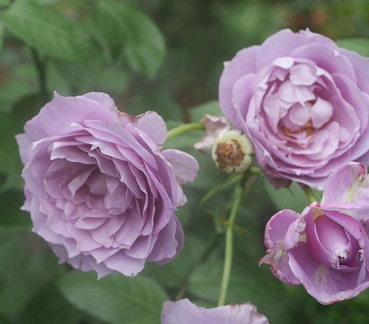 ノヴァーリス(木立バラ)の2番花がたくさん咲いた。2018年-2.jpg