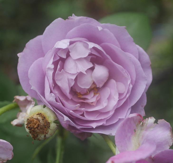 ノヴァーリス(木立バラ)の2番花がたくさん咲いた。2018年-4.jpg