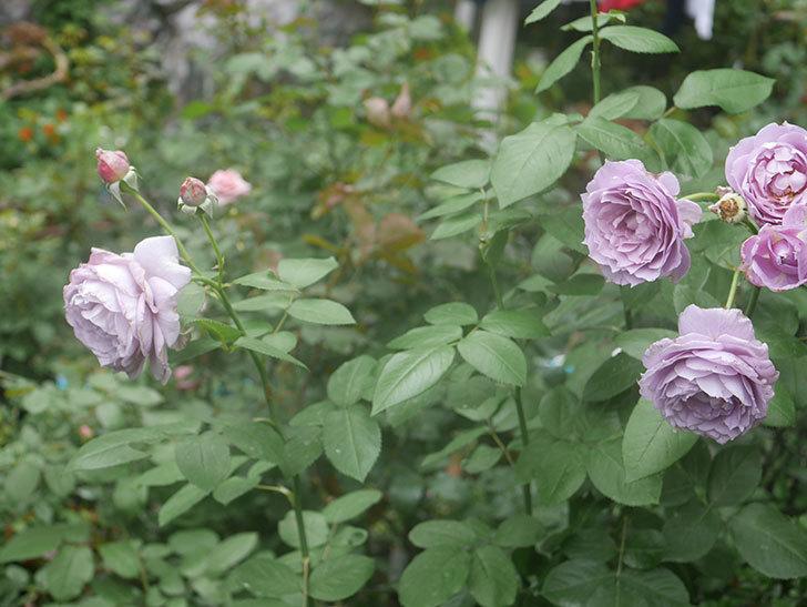 ノヴァーリス(木立バラ)の2番花がたくさん咲いた。2018年-6.jpg