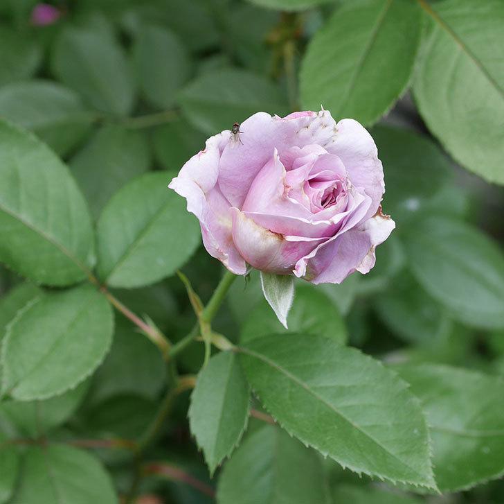 ノヴァーリス(木立バラ)の2番花が咲いた。2018年-2.jpg