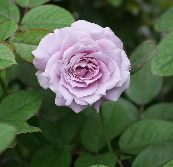 ノヴァーリス(木立バラ)の2番花が咲いた。2019年-1.jpg